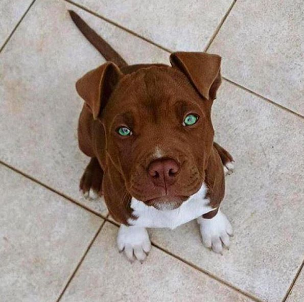 Gorgeous Eyes I Think It S A Pitbull Pitbulls Are Often