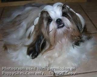 Angas Star Kennels Eulenburg Ckcs Shih Tzu Dogs Puppies