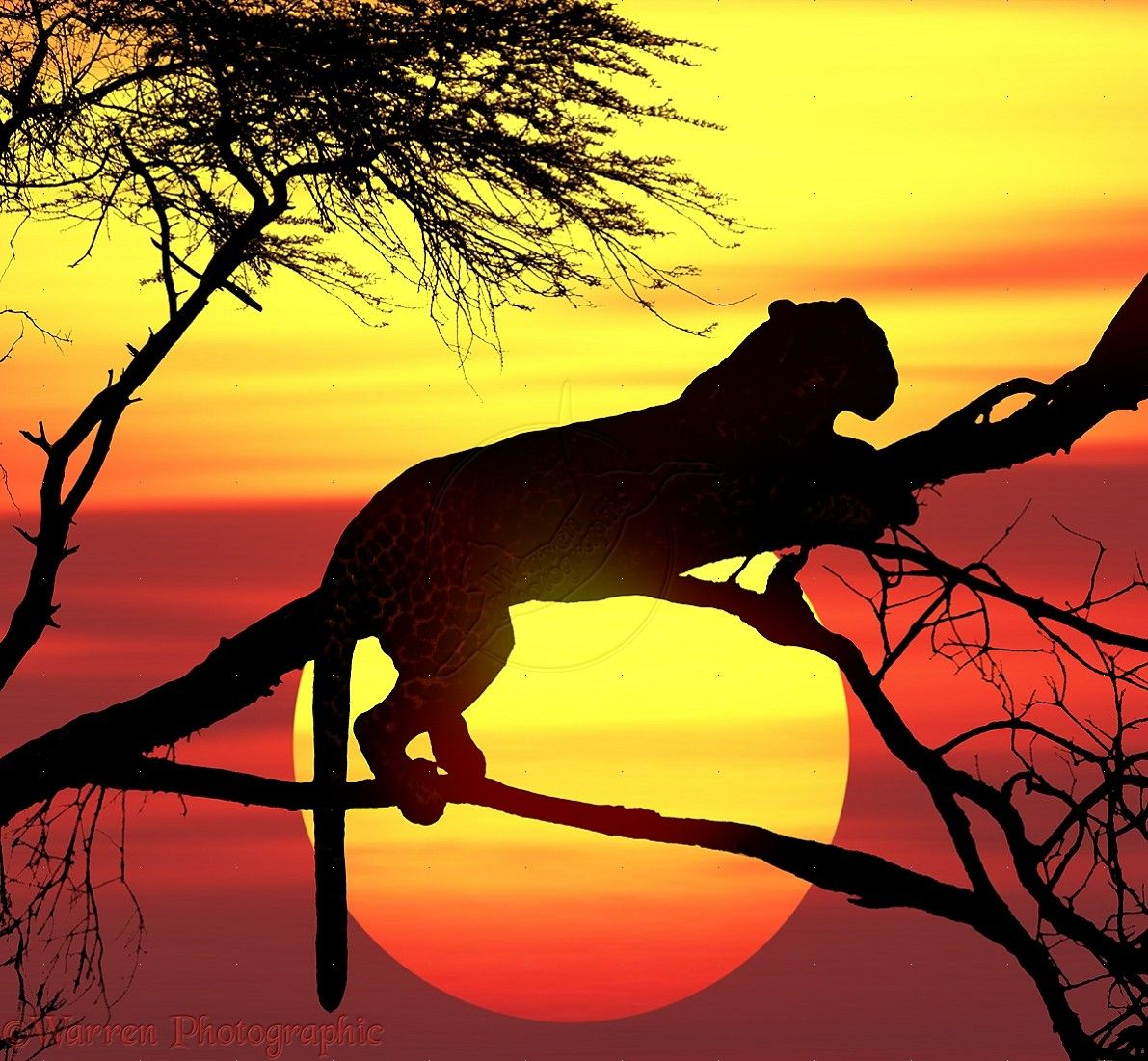 Leopard (Panthera pardus) up a tree at sunset. Africa.