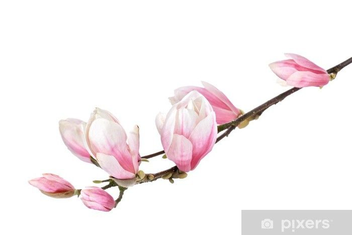 Magnolia Flower Branch Isolated On A White Background Sticker Pixers We Live To Change In 2020 Flower Branch Magnolia Flower Flower Photos