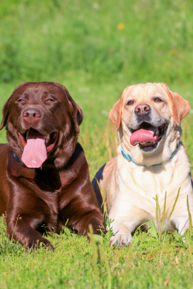 Three Labrador Retriever Dogs On The Grass Black Chocolate And Yellow Color Coats Labradorretriever Labrador Retriever Funny Labrador Labrador Retriever