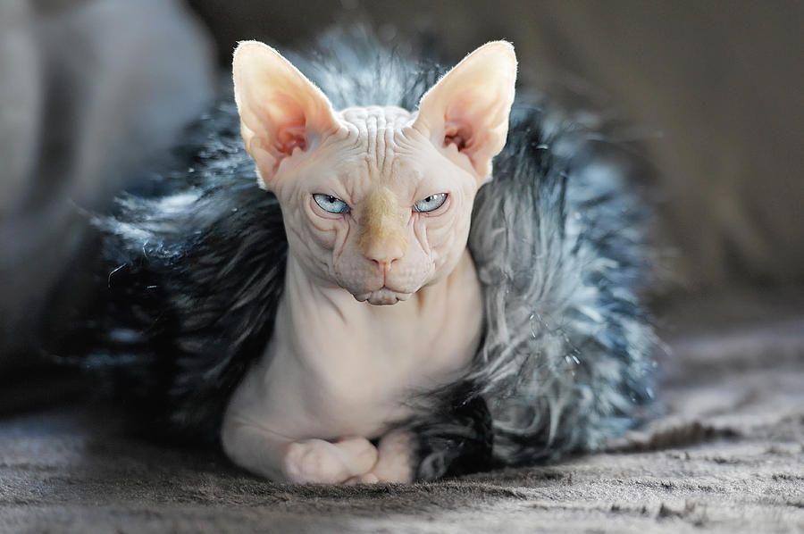 Cleo By Monika Vanhercke In 2021 Cat Breeds Sphynx Cat Cats