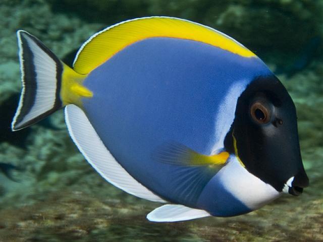 Coloridos y hermosos peces marinos el fondo marino es sin for Peces de acuario marino