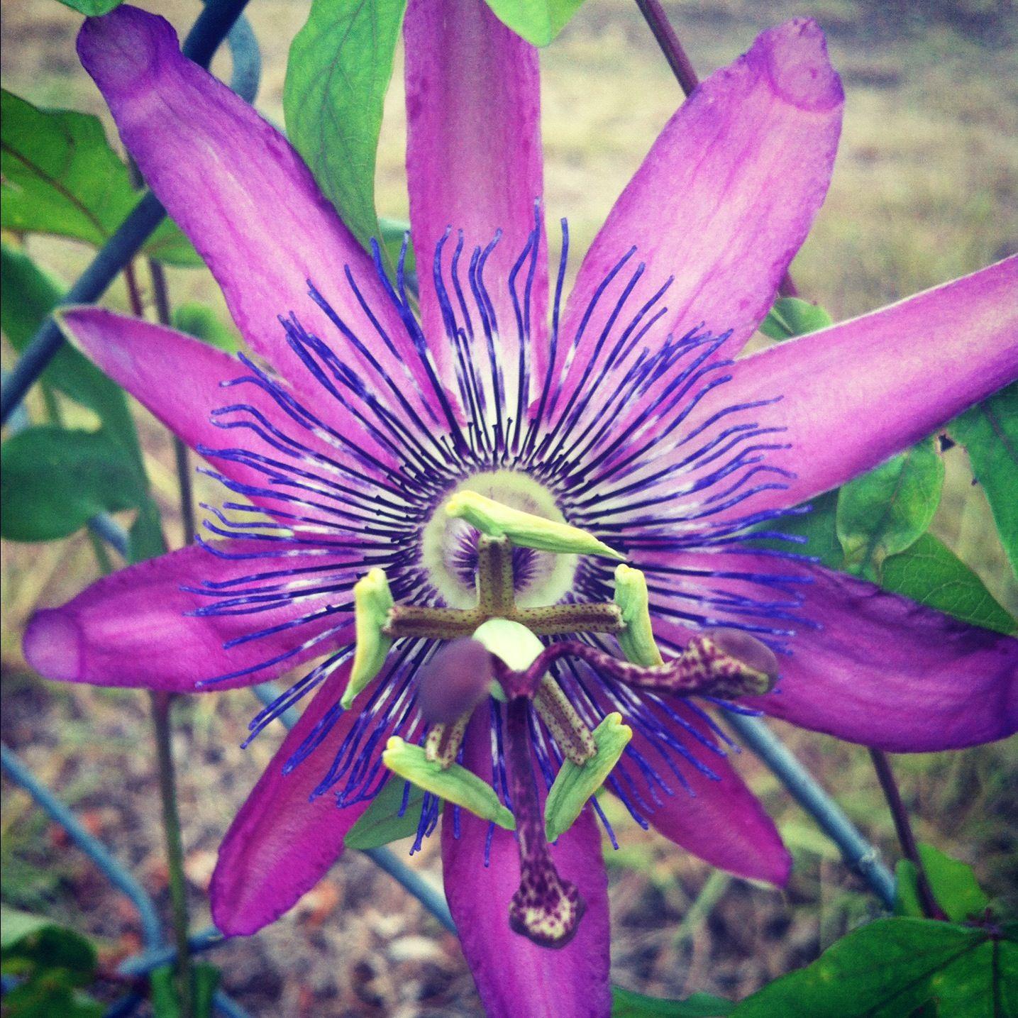 Passion flower passion flower flowers shrubs