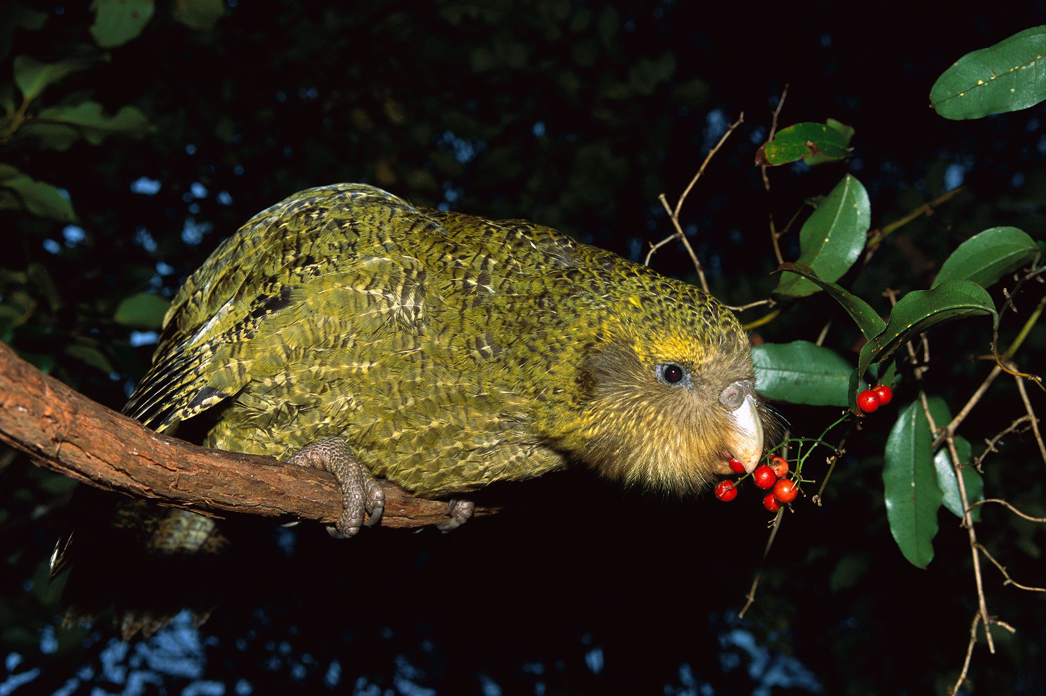 In World First Country To Wipe Out Invasive Predators Kakapo Flightless Parrot Animals
