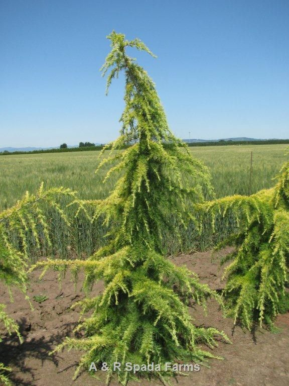 Cedrus Deodara Aurea Whole Nursery Supplies Plant Growers In Oregon