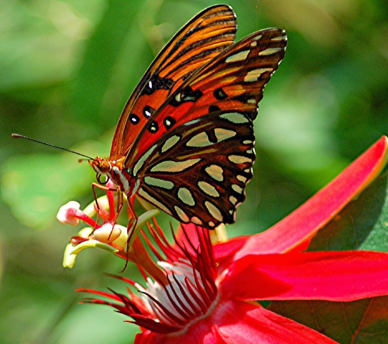 Symbiotic Relationship Of Butterfly And Flower Butterfly Species Passion Flower Passion Vine