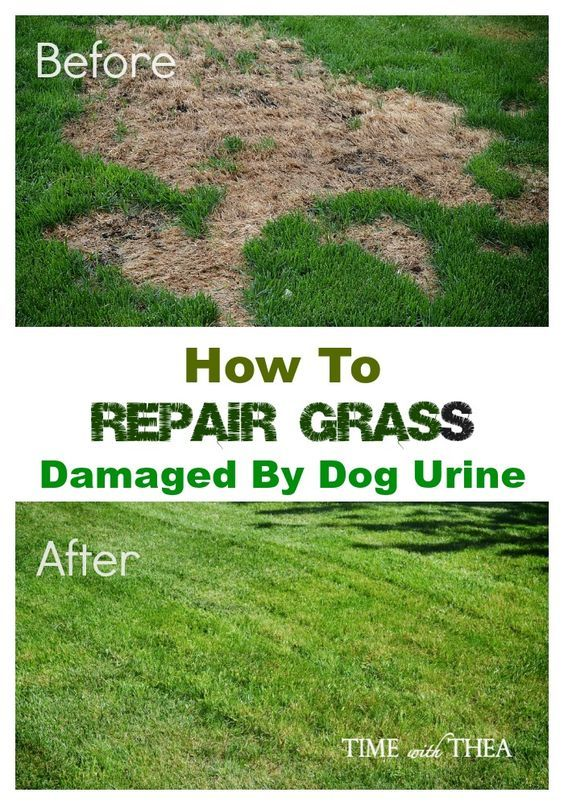 How To Repair Grass Damaged By Dog Urine Dog Urine Lawn Repair Lawn Garden