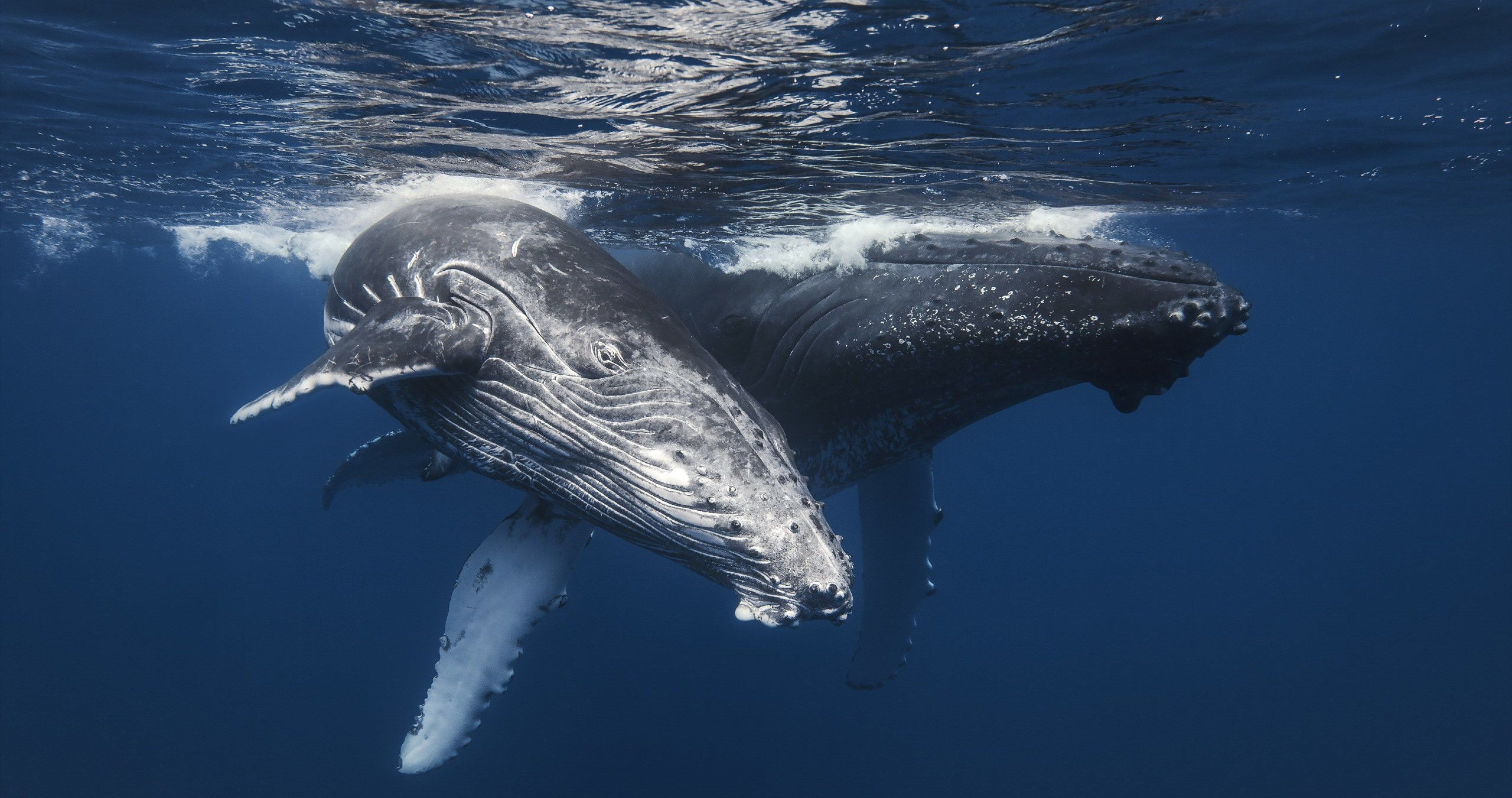 Whales In Sea 4k Ultra Hd Wallpaper Humpback Whale Whale Family Canvas