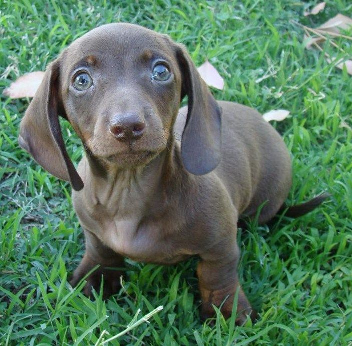 Pin On Blue Isabella Dachshunds