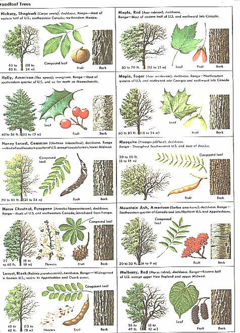 How Can Leaves Identify A Tree - Phenology - Science with Grambo ...