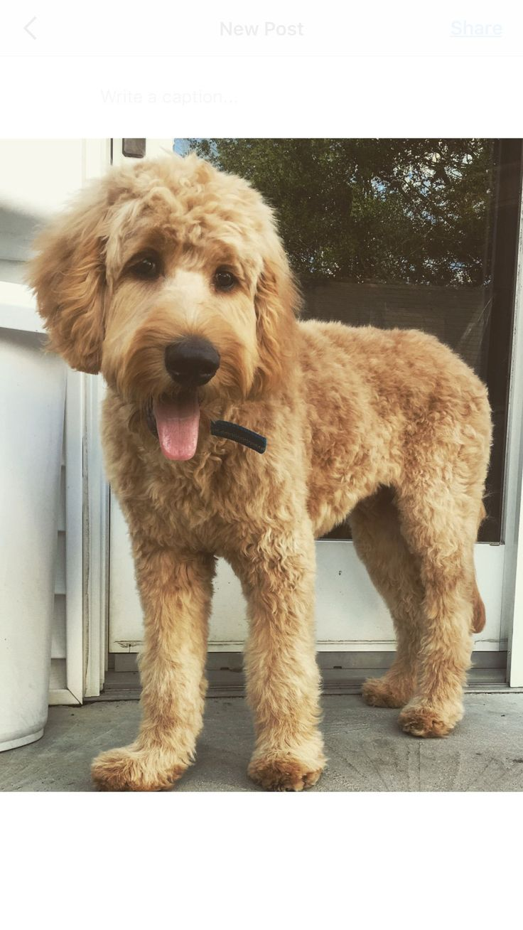 Goldendoodle grooming 5 best tips on how to groom a
