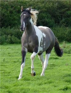 Blue roan paint- even more striking. Wow.
