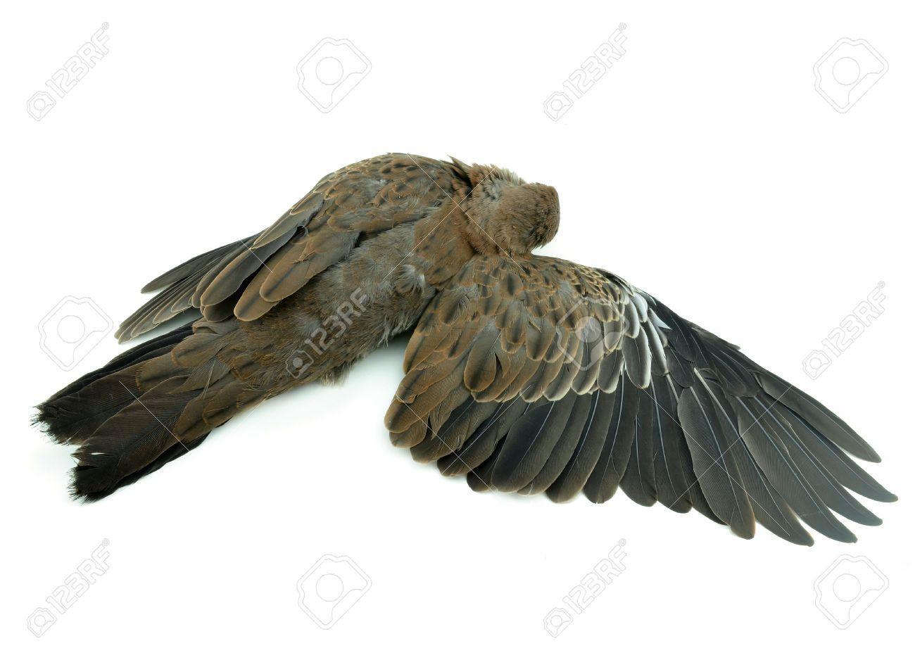 Http Previews 123rf Com Images Evegenesis Evegenesis1404 Evegenesis140400473 27584333 Dead Bird On White Background Stock Photo J True Art Bird Taxidermy Art