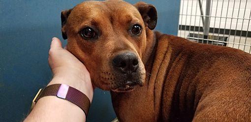 Henderson, NC Boxer. Meet Brown a Dog for Adoption