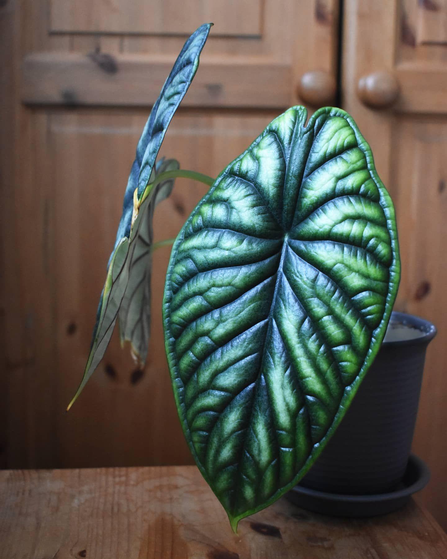 Alocasia dragon scale in 2020 alocasia plant plants