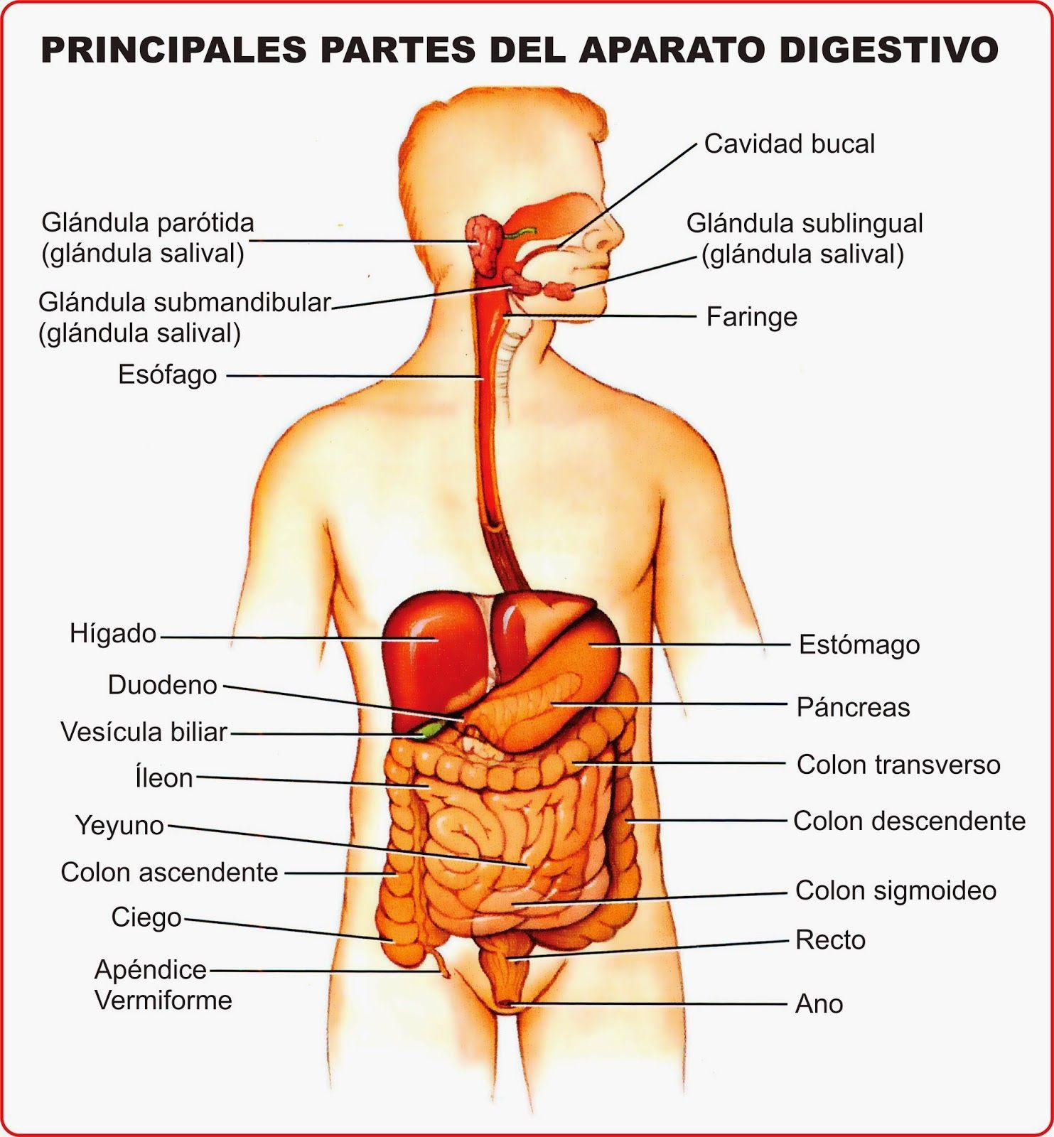 Resultado de imagen para sistema digestivo | anatomia en 2018 ...