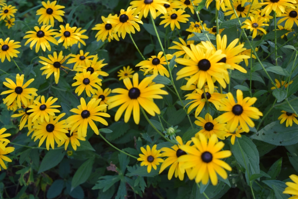 Black Eyed Susan Brown Eyed Susan And Olof Rudbeck The Younger Gardeninacity In 2020 Black Eyed Susan Plants Planting Flowers