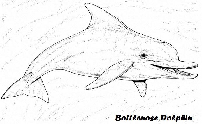 Bottlenose Dolphin Coloring Sheet For Kids Dolphin Coloring