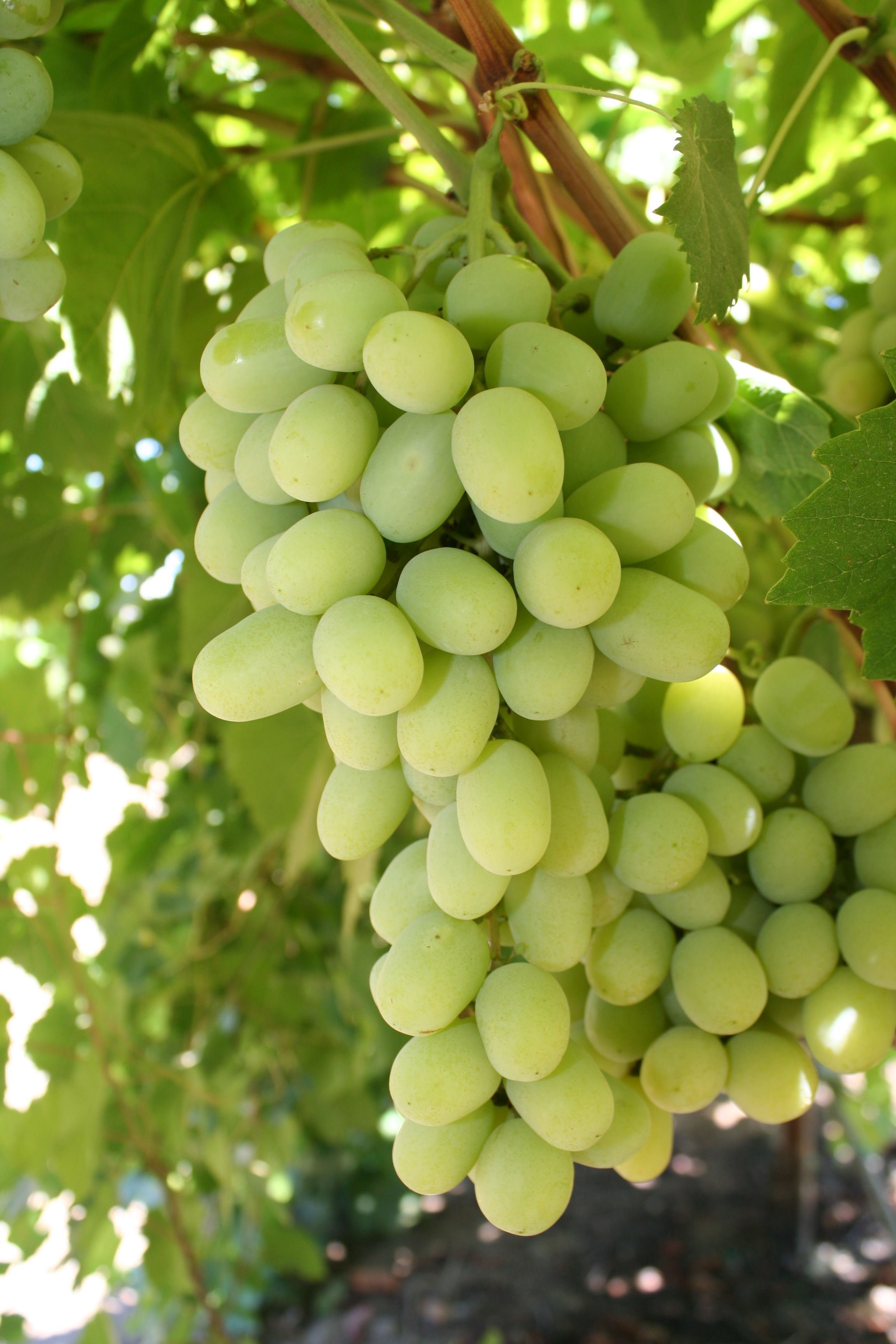 Cotton candy grapes now in season our familys