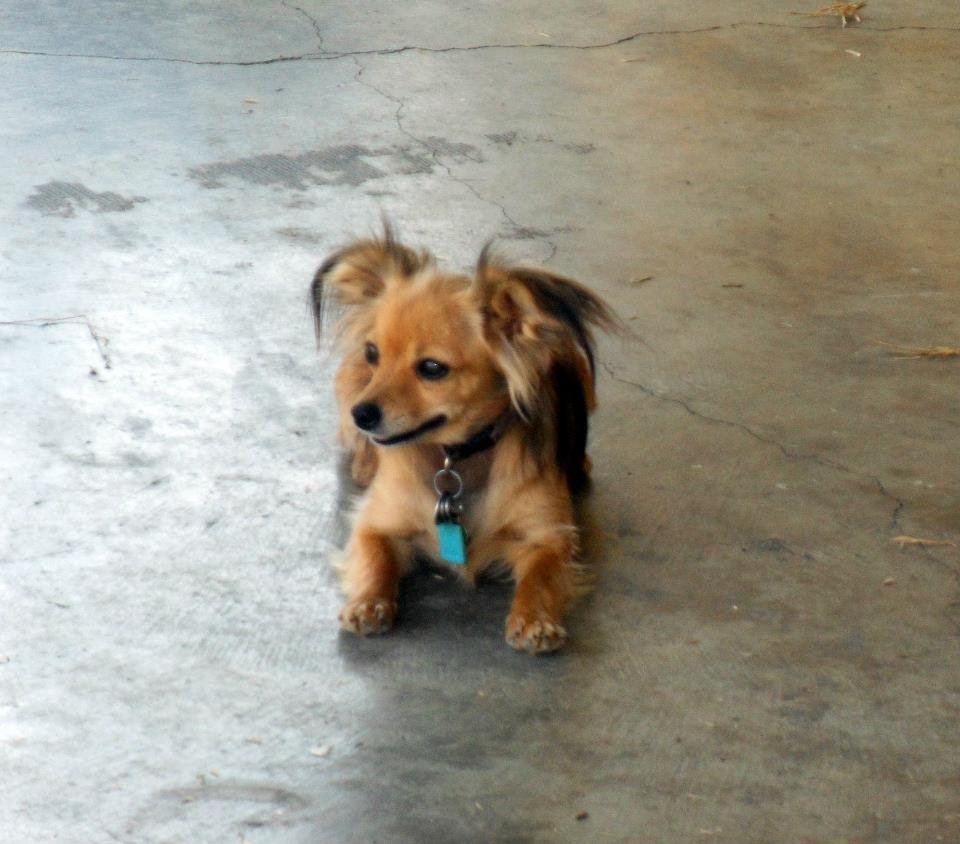 Pics photos dachshund chihuahua dog mix dogs pictures photos pics - Chiuaua Dachshund Long Hair Mix Google Search