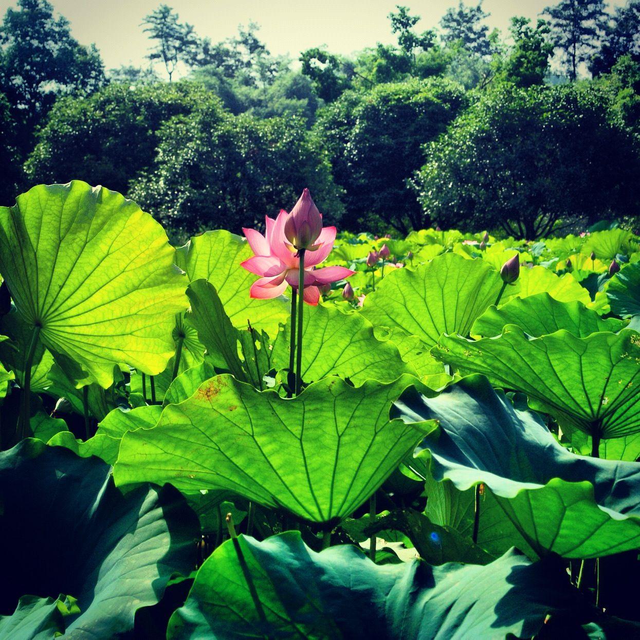 Lotus flowers at the big banyan tree yangshuo china flowers lotus flowers at the big banyan tree yangshuo china flowers lotus izmirmasajfo