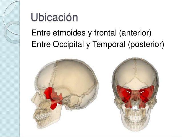 esfenoides | anatomia | Pinterest | Searching
