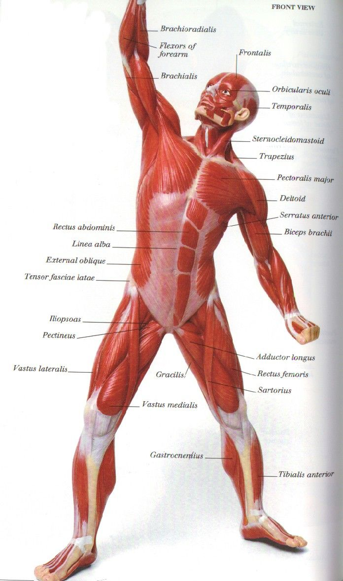 Pin By Terri On Ah School Anatomy Muscle Anatomy Muscle
