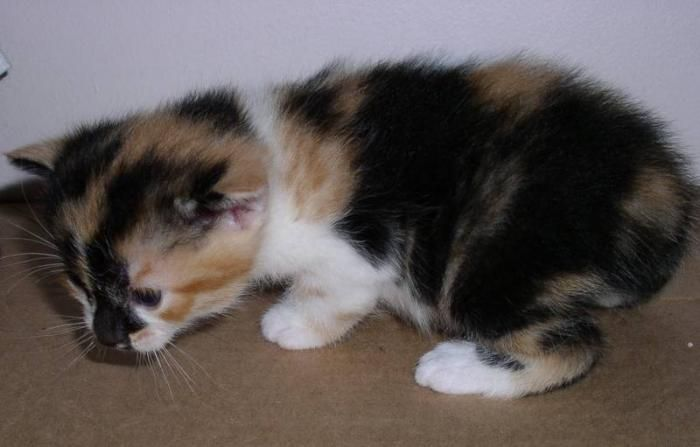 Calico Kittens For Sale Looking For A Calico Manx Kitten