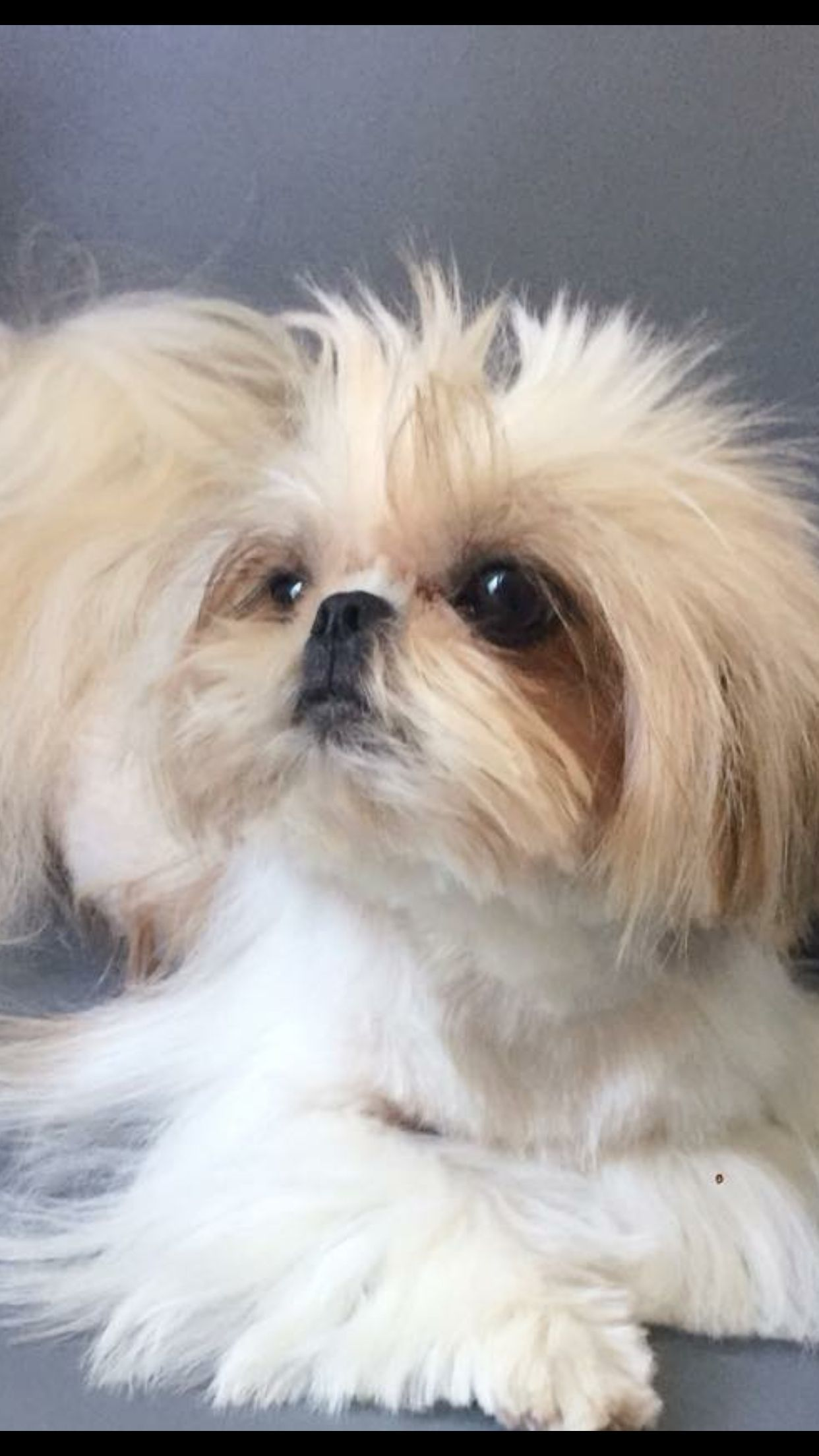 Pin By Evelyn Alves On Dogs And Puppies Shitzu Dogs Shih Tzu