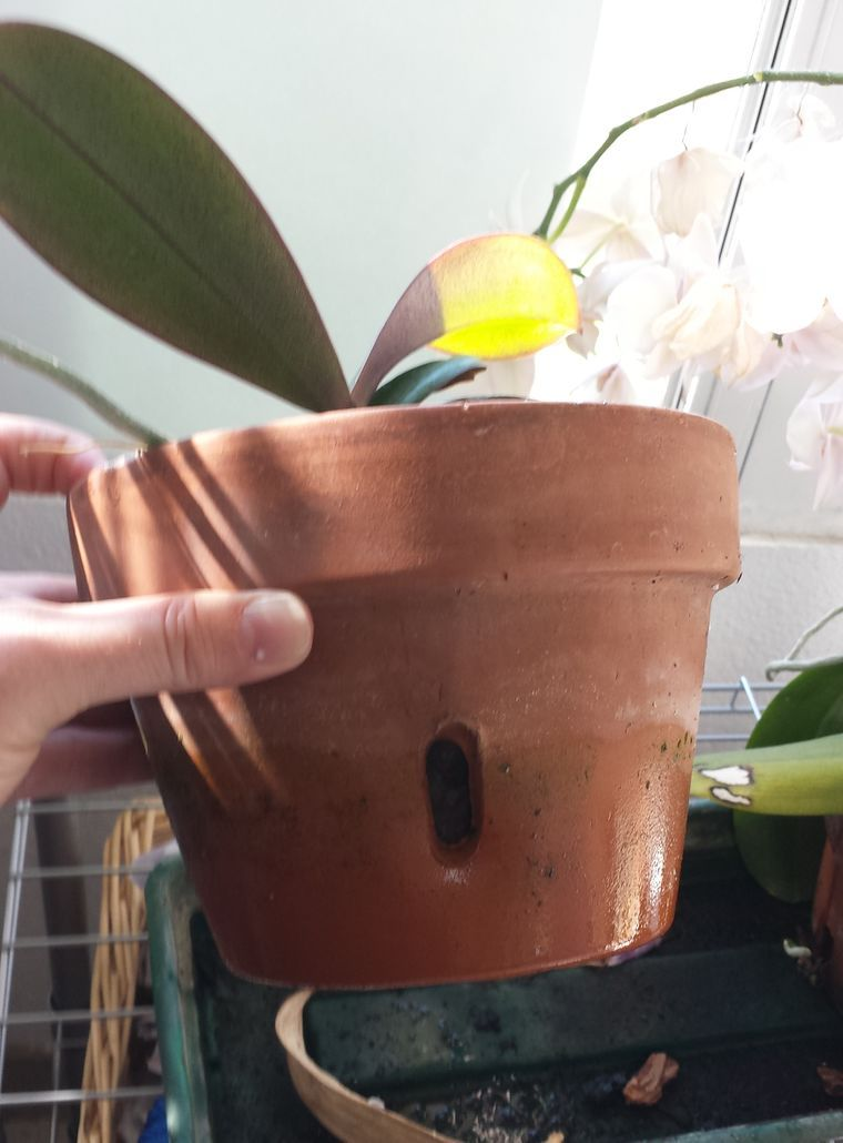 How To Revive An Orchid Plant 9 Steps With Pictures Orchid Plants Orchids Repotting Orchids