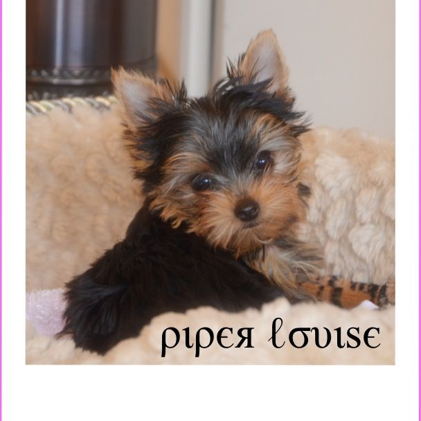 Our New Sweet Yorkie Piper Louise From Kansas City 12 Weeks