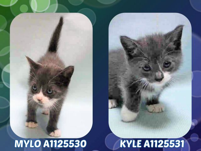 Mylo A1125530 And Kyle A1125531 Cats Cat Shelter Animal Rescue