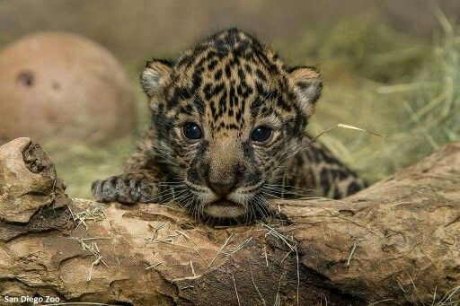 Jaguar cub at San Diego Zoo.