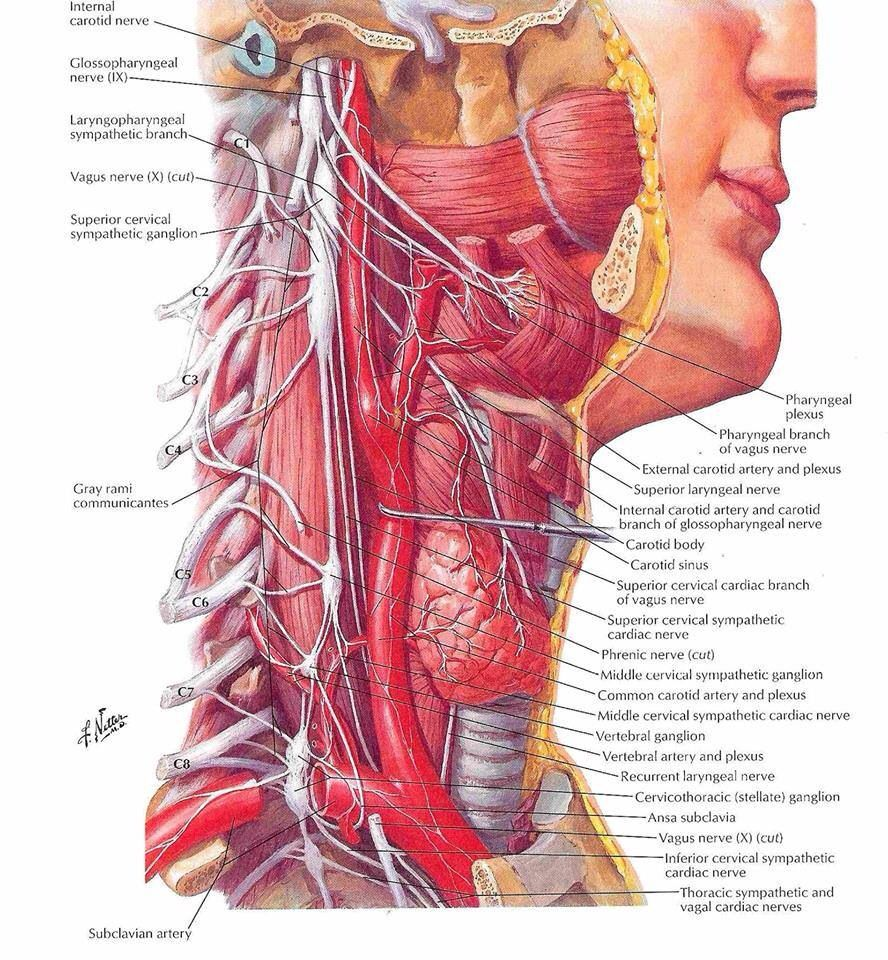 Neck dissection. | Surgical Technician | Pinterest | Phlebotomy and ...