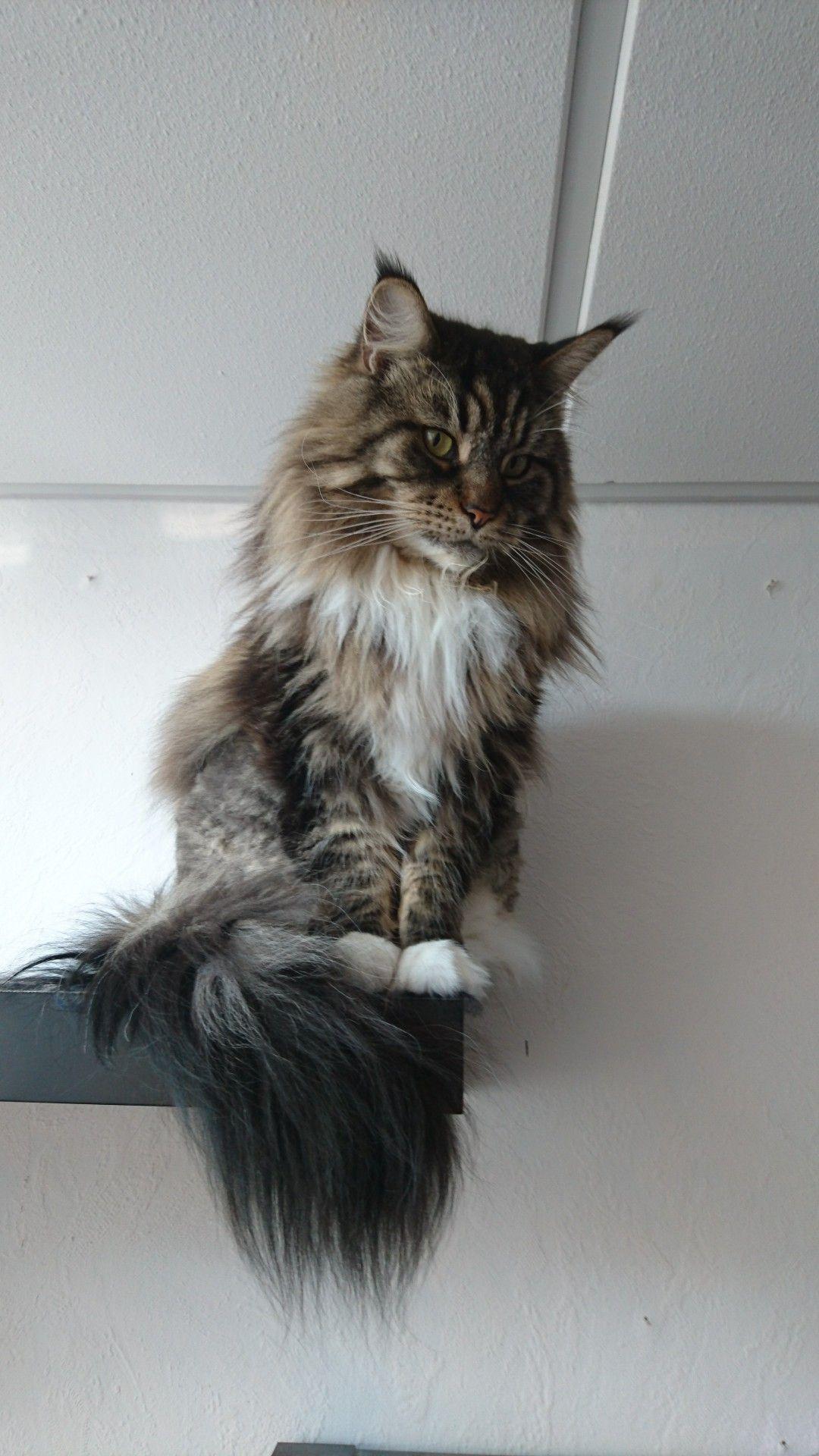 Epingle Sur Maine Coon Cats
