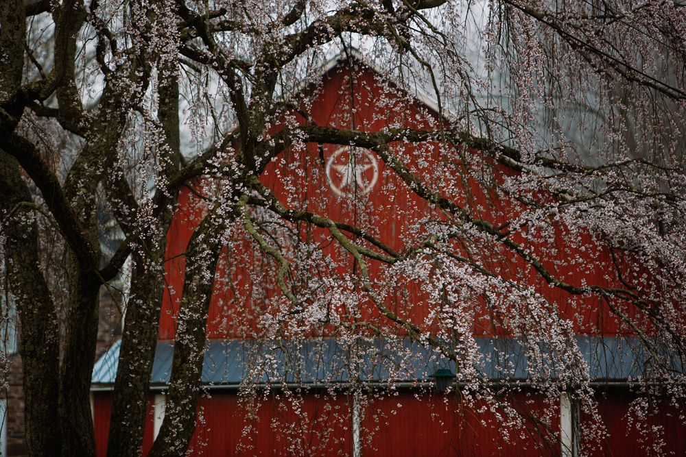 """""""Weeping Cherry and Barn,"""" Durham Township, PA. Photo by Kathleen Connally"""