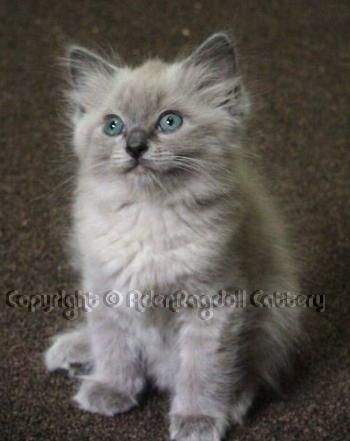 Ragdoll Rare Blue Mink Colorpoint Beautiful Ragdoll Cat Cats