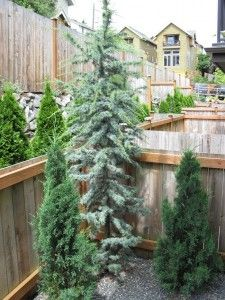 Atlas Cedar Blue Tree Landscaping Dwarf Trees For Landscaping Evergreen Garden