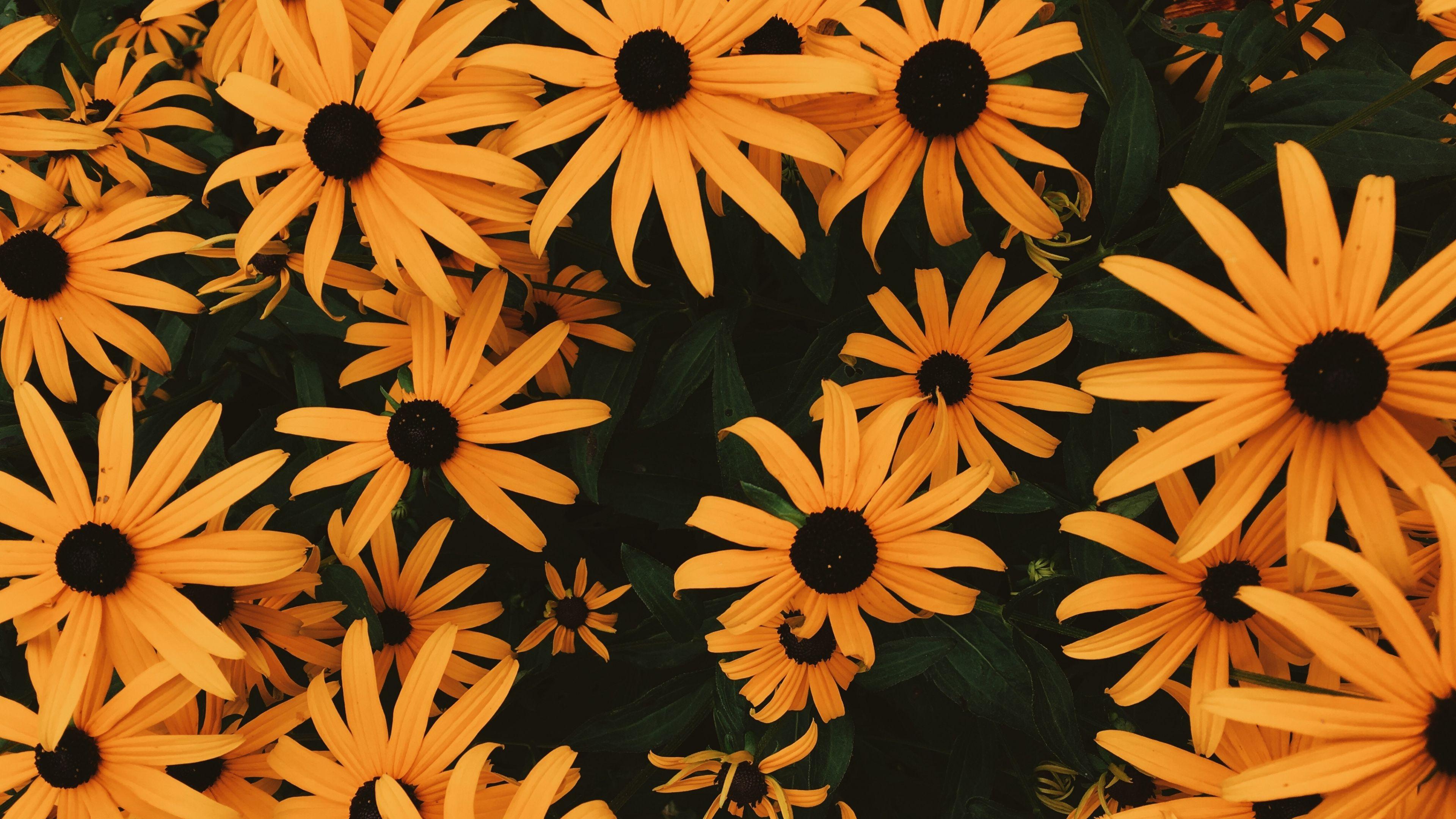 3840x2160 Wallpaper Coneflowers Flowers Flowerbed Many