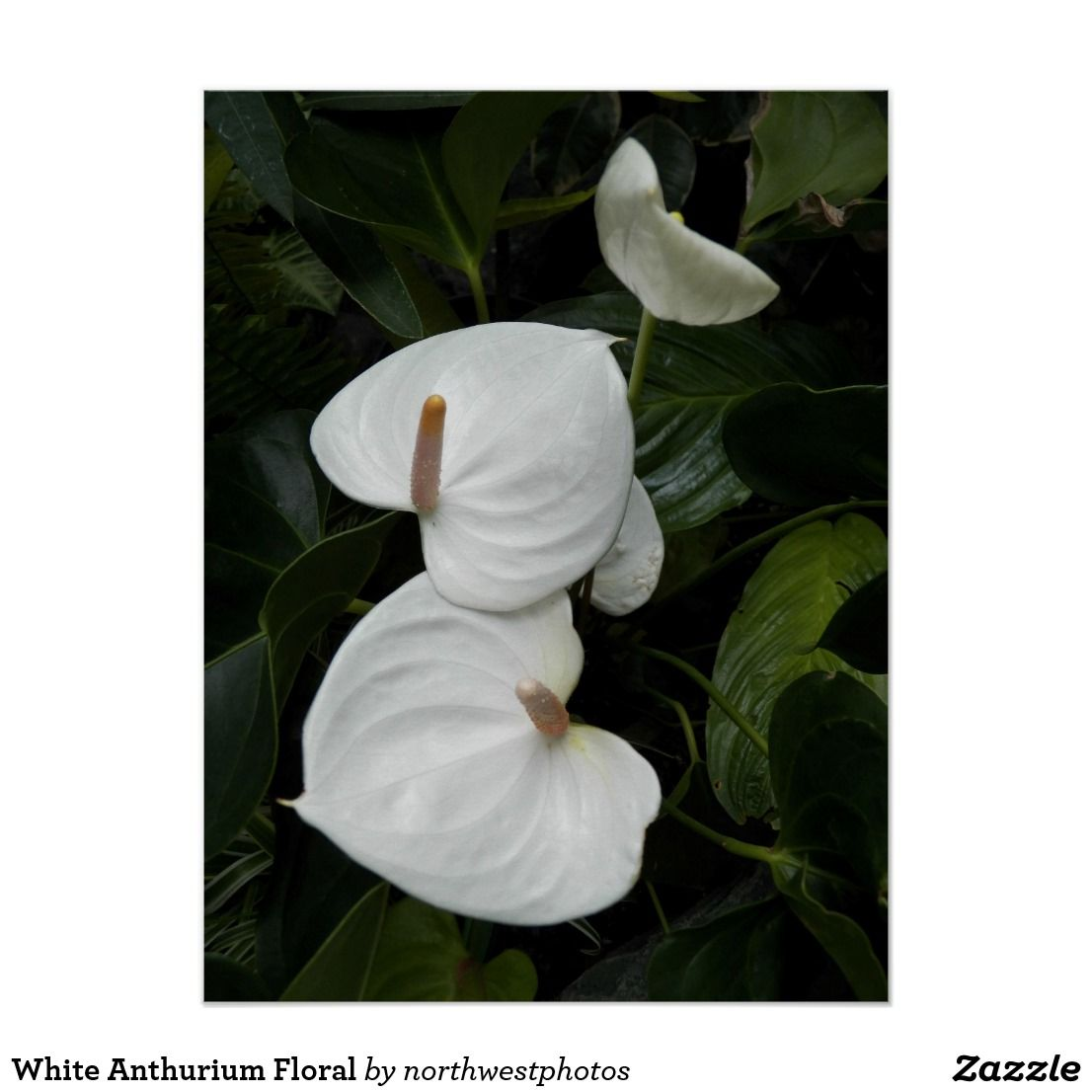 White Anthurium Floral Poster Floral Poster Anthurium Flower Poster Prints