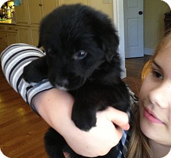 Chicago Il Border Collie Golden Retriever Mix Meet Bear A Puppy For Adoption Puppy Adoption Pet Adoption Cats And Kittens