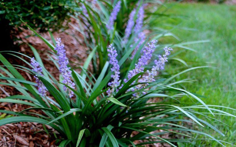 Big Blue Liriope Monkey Grass Unlike Other Liriope Varieties That