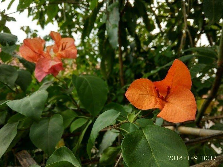 30 Gambar Bunga Kertas Yg Indah Tanaman Hias Ada 5 Jenis Yaitu Tanaman Hias Bunga Tanaman Hias Daun Tanaman Hias Akar Tanama Di 2020 Bunga Bunga Kertas Menanam Bunga