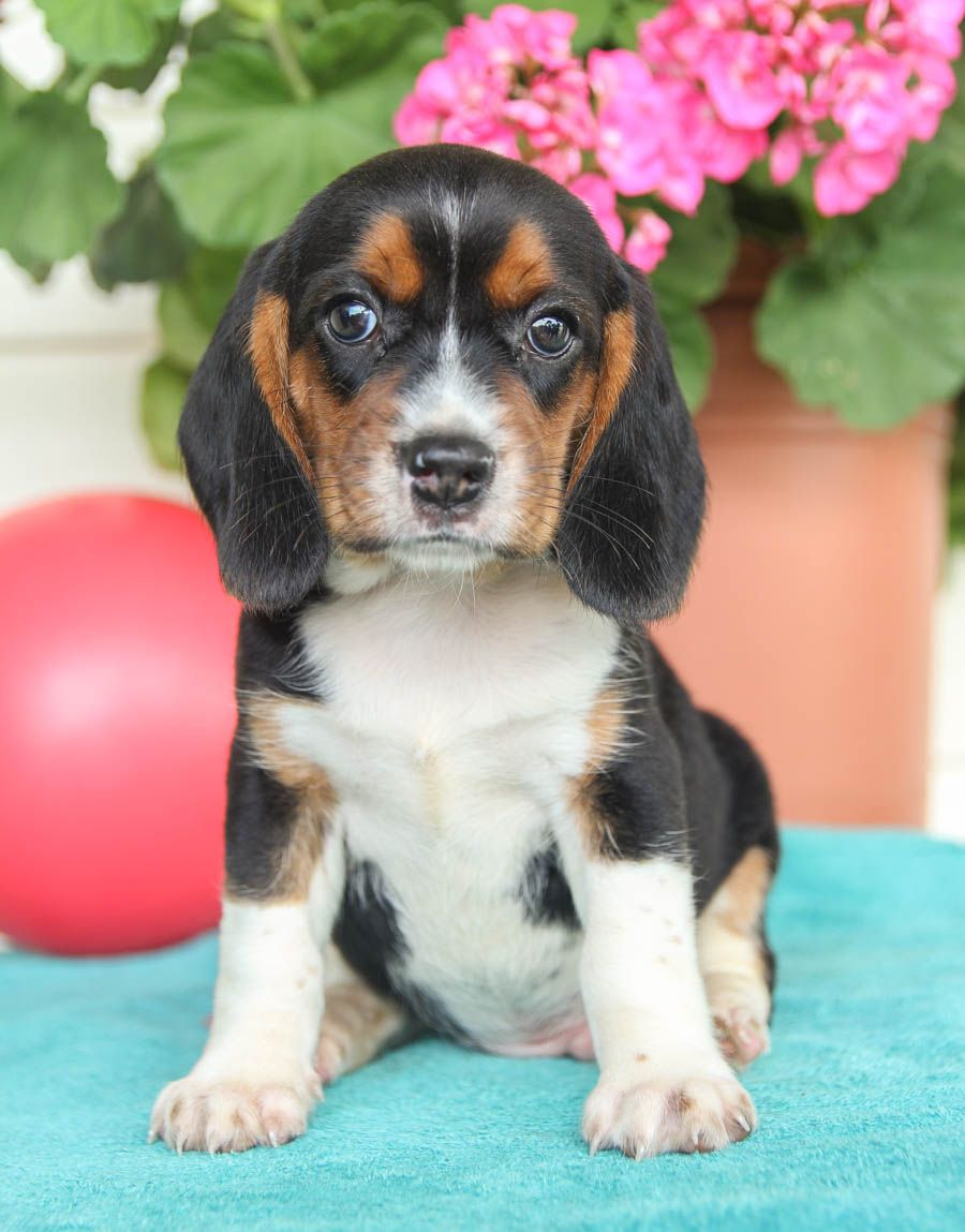 Pin By Glenda Woolbright On Animals And Pets In 2020 Beagle Puppy Puppies Lancaster Puppies