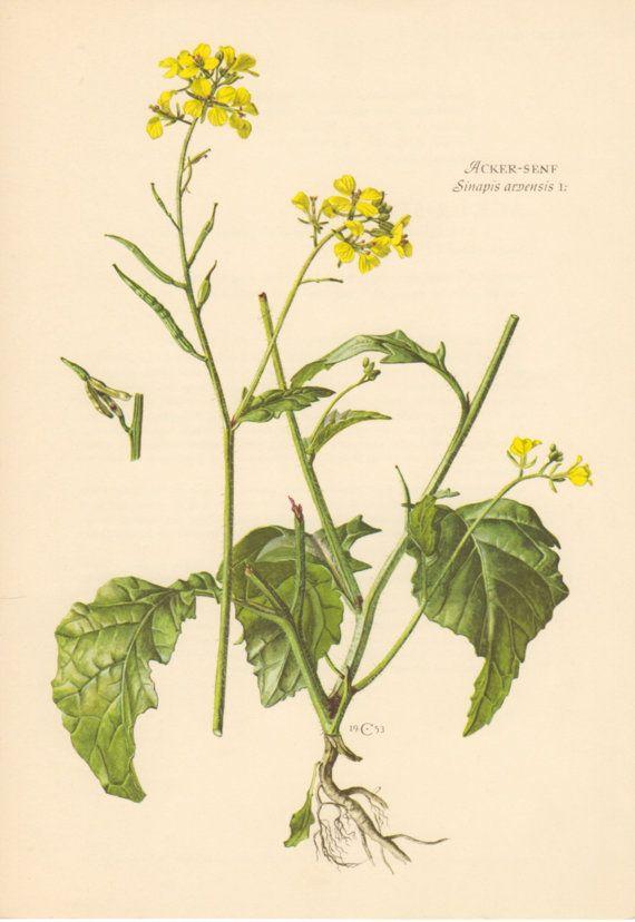1953 Wild Mustard Antique Botanical Print Vintage