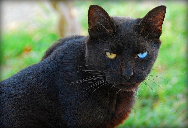 Odd Eyed Black Cat Black Cat Breeds Cute Black Cats Cat With