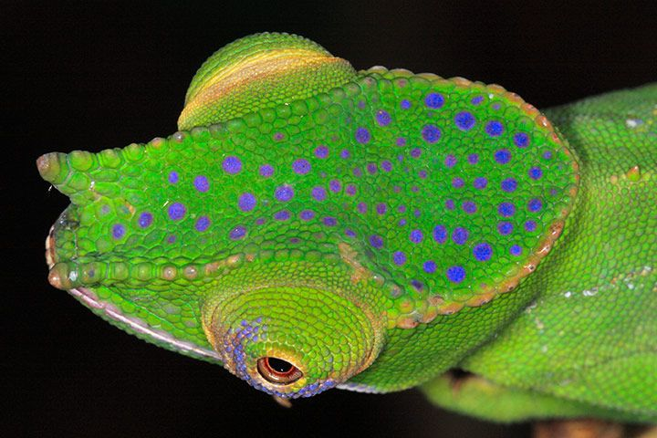 Furcifer timoni - newly discovered chameleon