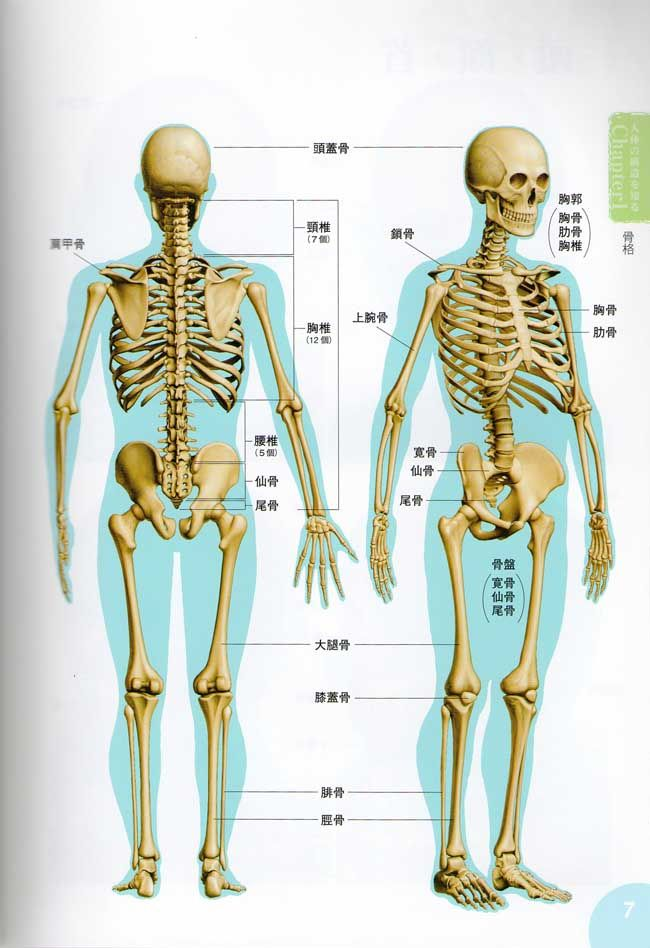 Skeleton Rear View Archive Human Anatomy Pinterest Anatomy