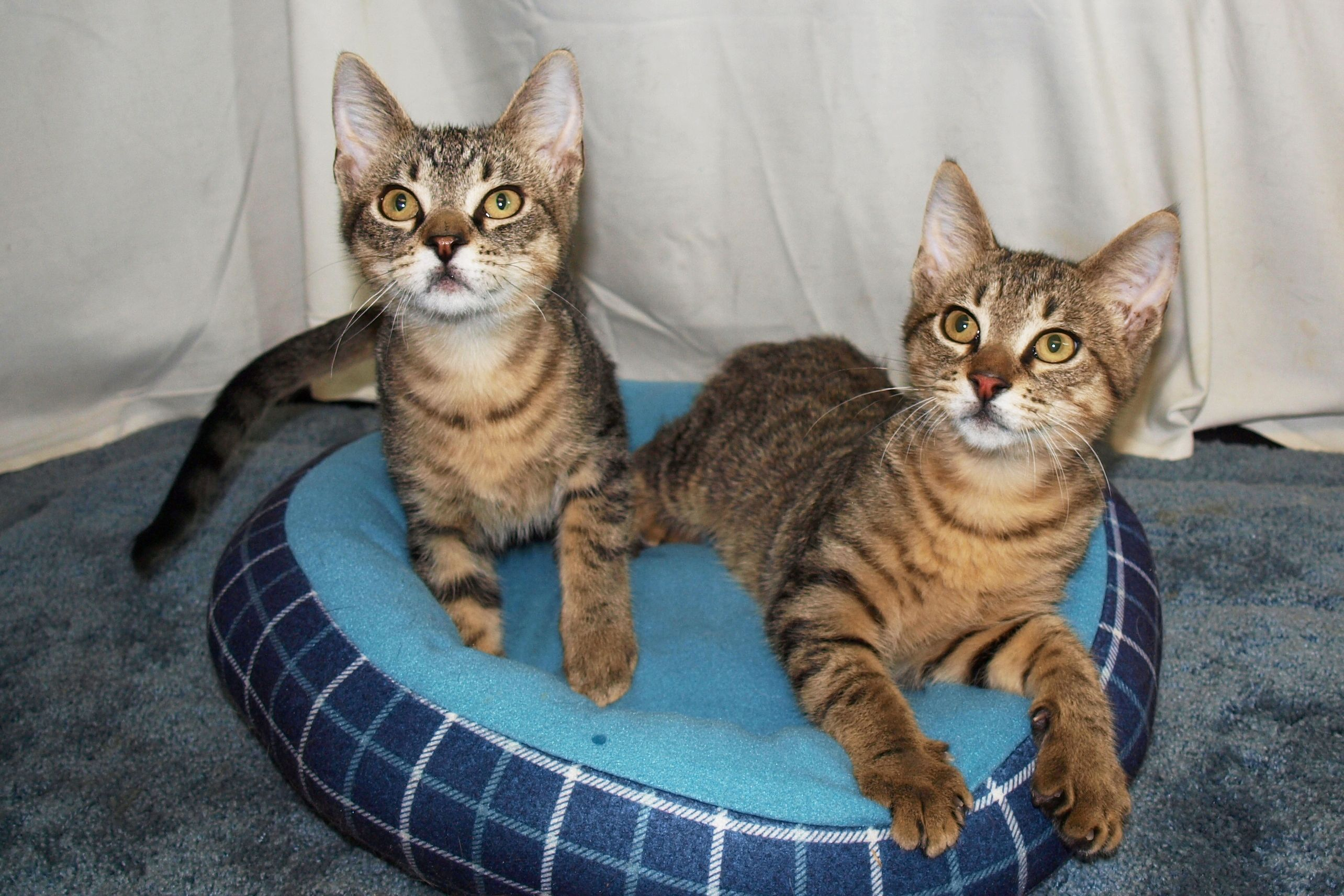Cats of the Week    Pedro (l) and Bobo (r) are male domestic short-hair litter mates who are about 14 weeks old. They were found in an old, rusted car and brought to CARA. Having been bottle fed at our Cattery Manager's home, they are now very affectionate and loving.    OMG, if I didn't already have two sweet baby boys, I'd have to let these two snuggle bunnies run my house!! Ooooooh they're so cute!